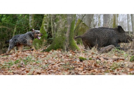 12_sanglier_chasse-022227.jpg