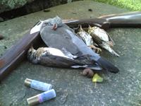 Grives et pigeon ramier