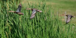 Vol de canards souchets