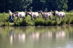 Pâturage extensif sur le marais de Saône